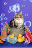 Maine Coon Cat in Bath Tub. A Maine Coon Cat sits in a bath tub with towel, rubber ducks, and bubbles Royalty Free Stock Photos