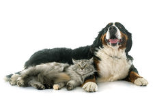 Maine coon cat and bernese mountain dog Royalty Free Stock Image