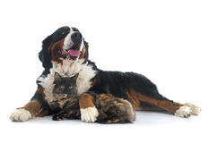 Maine coon cat and bernese mountain dog Stock Image