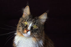 Maine coon cat. On a black background stock image