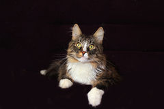 Maine coon cat. On a black background stock images