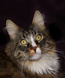 Maine coon cat. On a black background royalty free stock image