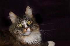 Maine coon cat. On a black background stock photos