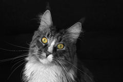 Maine coon cat. On a black background, black and white, colored eyes royalty free stock image