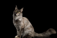 Maine Coon Cat on Black Background Stock Photo