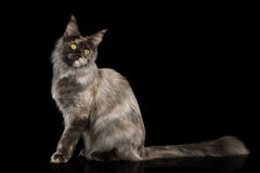 Maine Coon Cat on Black Background Royalty Free Stock Photo
