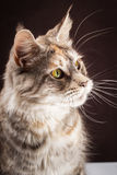 Maine coon cat on black brown background Stock Photos