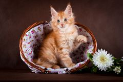 Maine coon cat on black brown background Stock Images