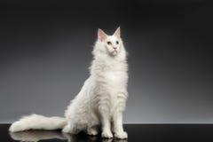 Maine Coon Cat blanca con diversos ojos que se sientan, fondo negro Fotografía de archivo