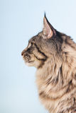 Maine coon cat on blue Stock Image