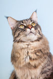 Maine coon cat on blue Royalty Free Stock Photo