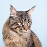 Maine coon cat on blue Royalty Free Stock Photography