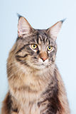 Maine coon cat on blue Stock Images