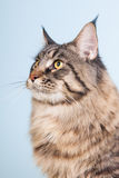 Maine coon cat on blue Royalty Free Stock Photos