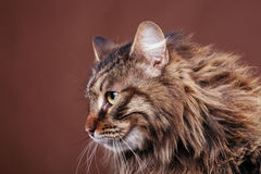 Maine coon cat on brown background Stock Photos
