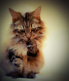 Maine coon cat with bubbles on head and paw. Mainecoon tabby lynx cat sitting on bath with bubbles on his head and licking them off paw while looking at camera Royalty Free Stock Image