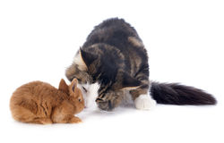 Maine coon cat and bunny Royalty Free Stock Photography