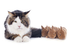 Maine coon cat and bunny Stock Photo
