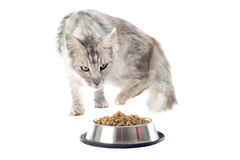 Maine coon cat and cat food Royalty Free Stock Images