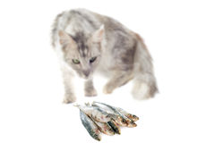 Maine coon cat and cat food Stock Photo