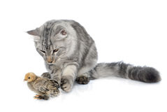 Maine coon cat and chick. In front of white background Stock Image