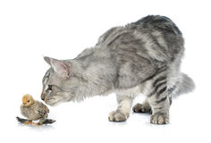 Maine coon cat and chick. In front of white background Royalty Free Stock Photos
