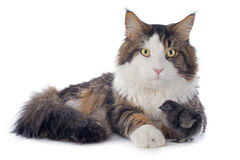 Maine coon cat and chick Royalty Free Stock Image