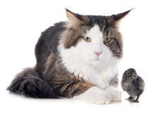 Maine coon cat and chick Royalty Free Stock Photography