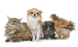 Maine coon cat, chicken and chihuahua. In front of white background Stock Photography