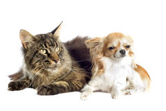 Maine coon cat and chihuahua Stock Images