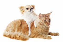 Maine coon cat and chihuahua Stock Photography