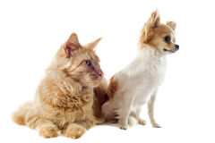 Maine coon cat and chihuahua Stock Photo