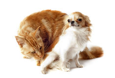 Maine coon cat and chihuahua Stock Image
