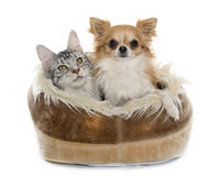 Maine coon cat and chihuahua. In cushion in front of white background royalty free stock photography