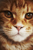 Maine coon cat, close up Royalty Free Stock Images