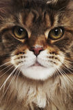 Maine coon cat, close up Royalty Free Stock Image