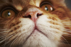 Maine coon cat, close up Royalty Free Stock Photos