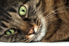Maine Coon cat close up. Big brown Maine Coon cat close up Royalty Free Stock Image