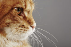 Maine coon cat, close up Stock Photo