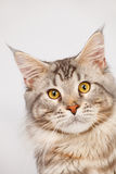 Maine Coon Cat close-up Stock Photos