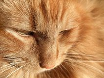 Maine Coon cat closeup Stock Photos
