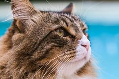 Maine Coon Cat Closeup Stock Image