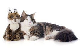 Maine coon cat and cuddly toy. Portrait of a purebred  maine coon cat and cuddly toy on a white background Stock Photo