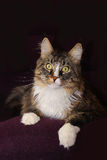 Maine coon cat. On a dark background stock photos