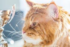 Maine Coon Cat divertida con el cubilete de oro Imagenes de archivo