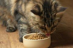 Maine Coon Cat drôle léchant la nourriture en plan rapproché de cuvette photographie stock