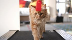 Maine coon cat exercising on a treadmill. Slow motion. 3840x2160 stock video
