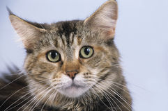 Maine Coon cat face Stock Image