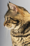 Maine Coon cat face Stock Images