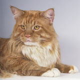 Maine Coon cat face Stock Photo
